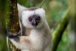 14 Madagaskar Sifaka