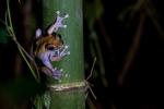 16 Madagaskar Frosch Marojejy
