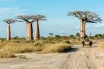 33 Madagaskar Baobabs