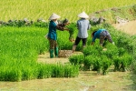 Vietnam 13 Reis planzen